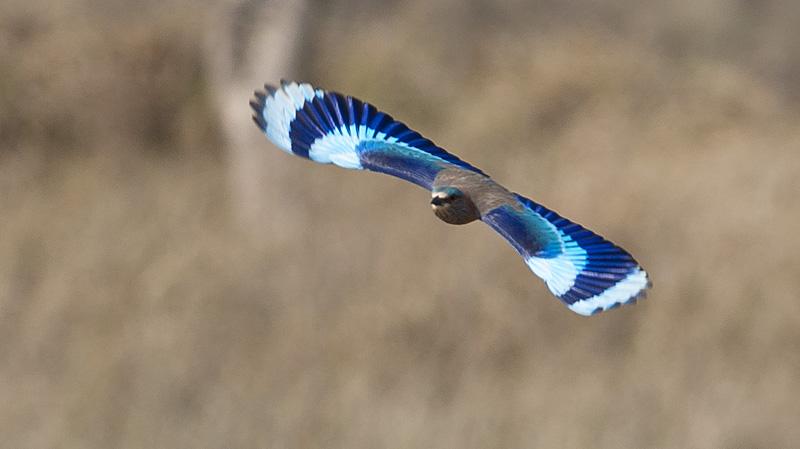 indisk blåkråka