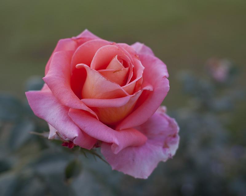 skimrande ros