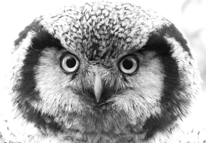 hökuggla svartvit