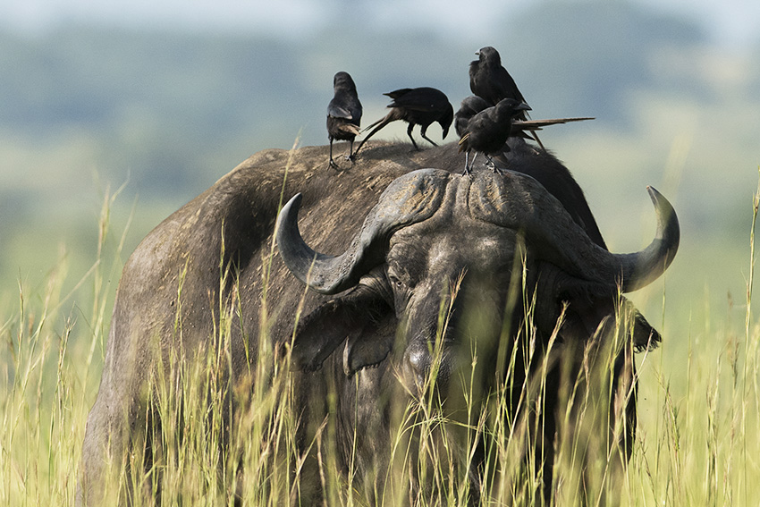 buffel med piapiac
