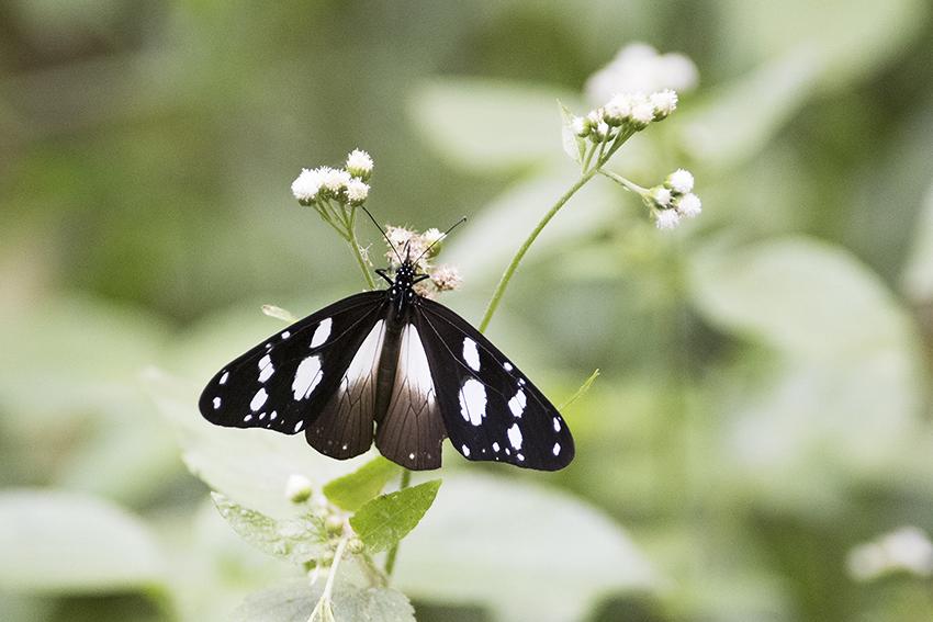 fjäril, Uganda