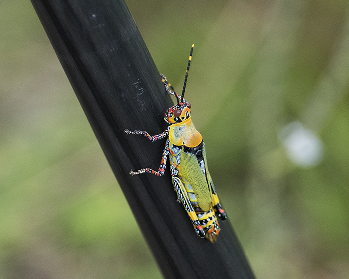 gräshoppa-1