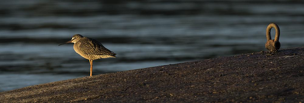 svartsnäppa solnedgång